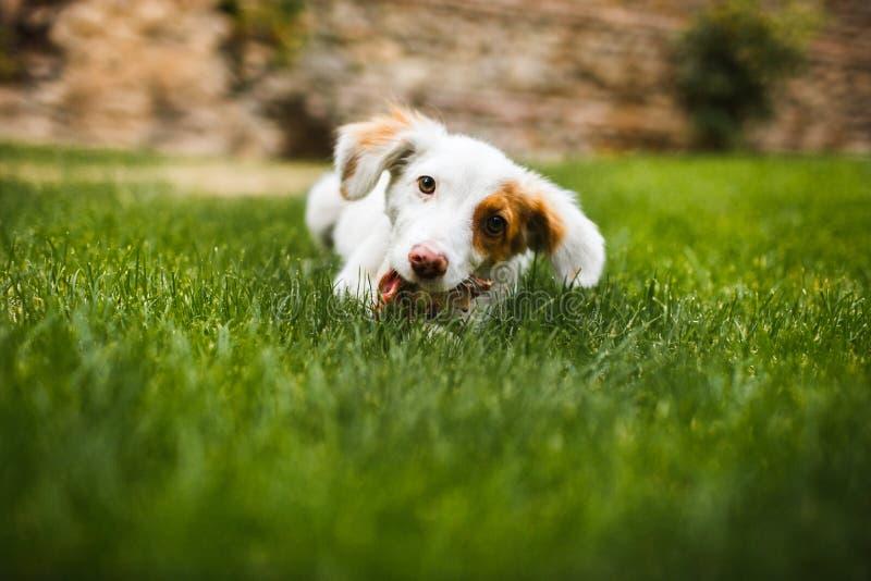 Erfreuter und glücklicher Hund, der Fleisch auf dem Knochen liegt auf grünem Gras isst stockfoto