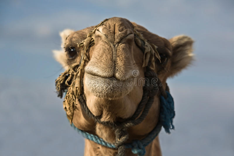 Download Erg Chebbi camel head stock photo. Image of merzouga - 22345402