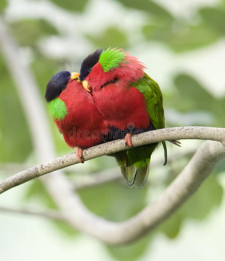 Ergatterte Lories, Fidschi-roter grüner Vogel stockfotos