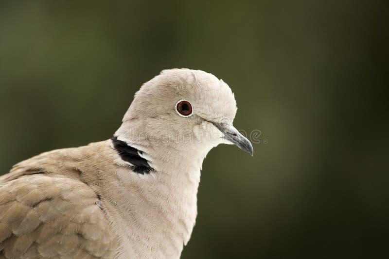 Ergatterte Taube stockbilder