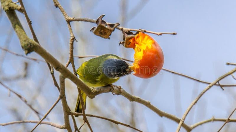 Ergattertes Finchbill stockbilder
