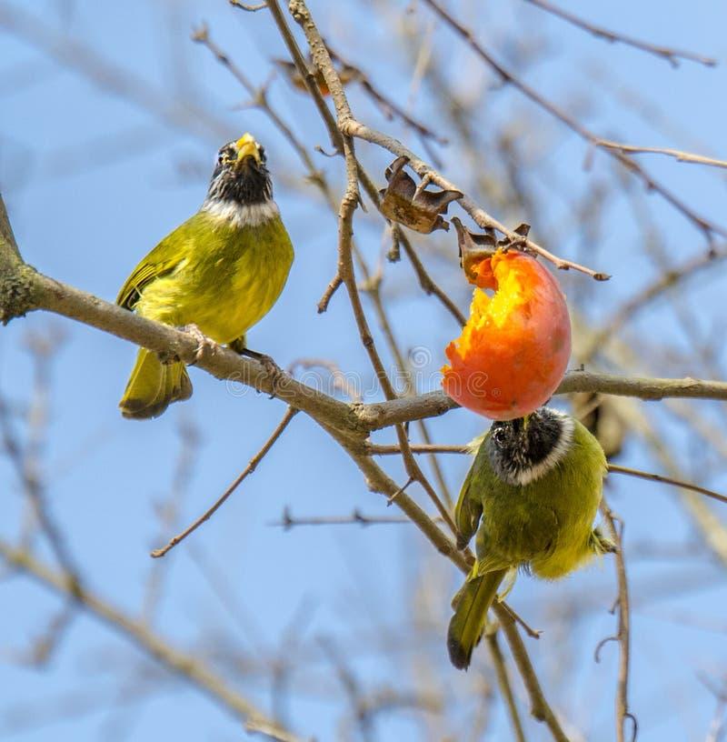 Ergattertes Finchbill stockfotos
