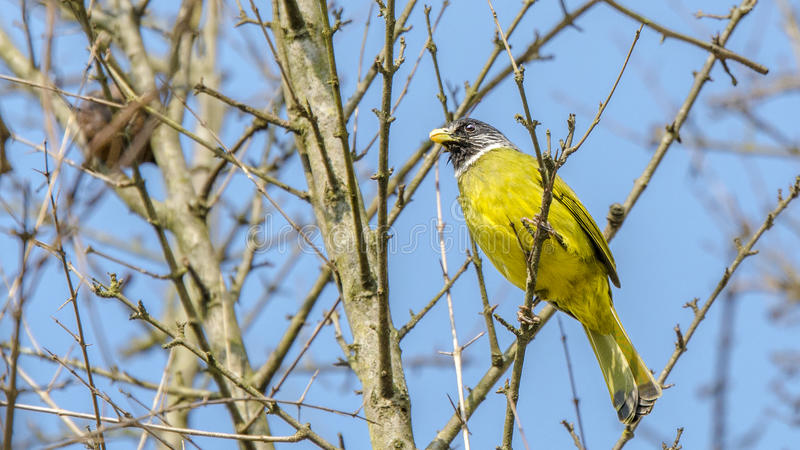 Ergattertes Finchbill stockfoto