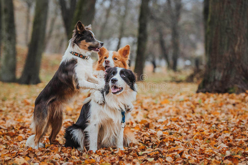 Ergebene Hunderasse border collie Porträt, Herbst, Natur, Tricks, bildend aus lizenzfreies stockbild