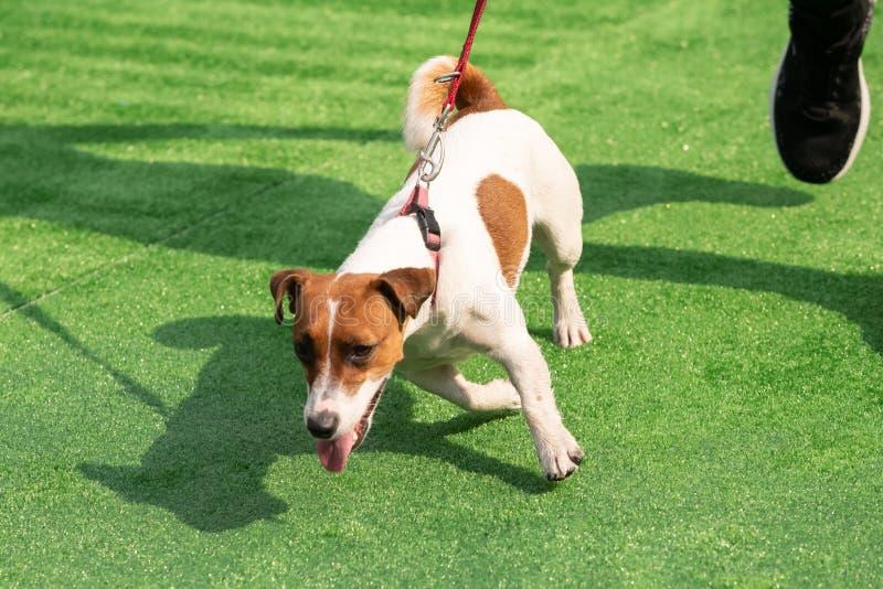 Ergebener Hund und Trainingsleine der langen Schlange auf Hintergrund des gr?nen Grases lizenzfreies stockfoto