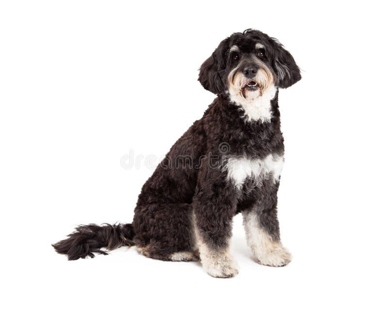 Ergebenes Pudel-Mischungs-Zucht-Hundesitzen stockfotografie