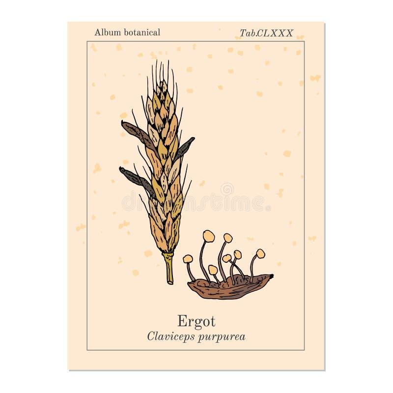 Free Ergot Fungi Claviceps Purpurea , Medicinal Plant Stock Photo - 163707020