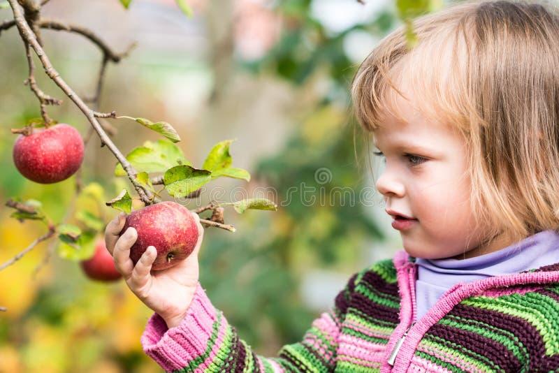 Ergreifung des Apfels lizenzfreie stockbilder