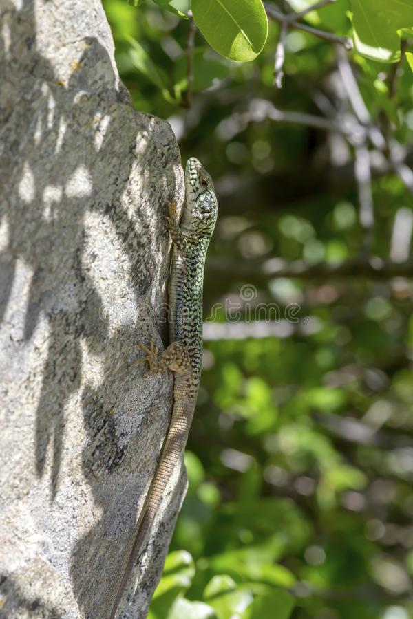 Erhard`s Wall Lizard Podarcis erhardii naxensis sitting on a stones close-up in a sunny day. Animals. A nimble Erhard`s Wall Lizard Podarcis erhardii naxensis stock photography