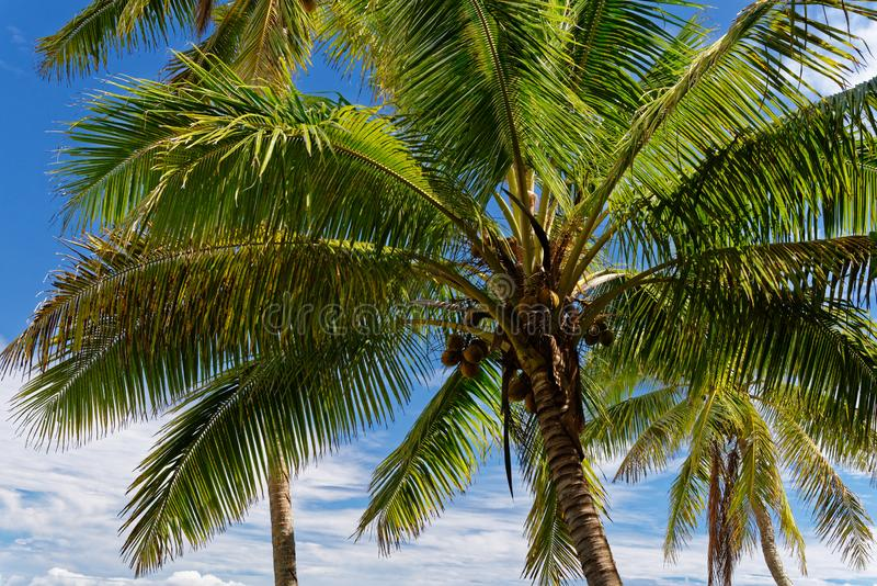 Erholung in diesem tropischen Paradies unter den blauer Himmel- und Kokosnussbäumen lizenzfreie stockfotos