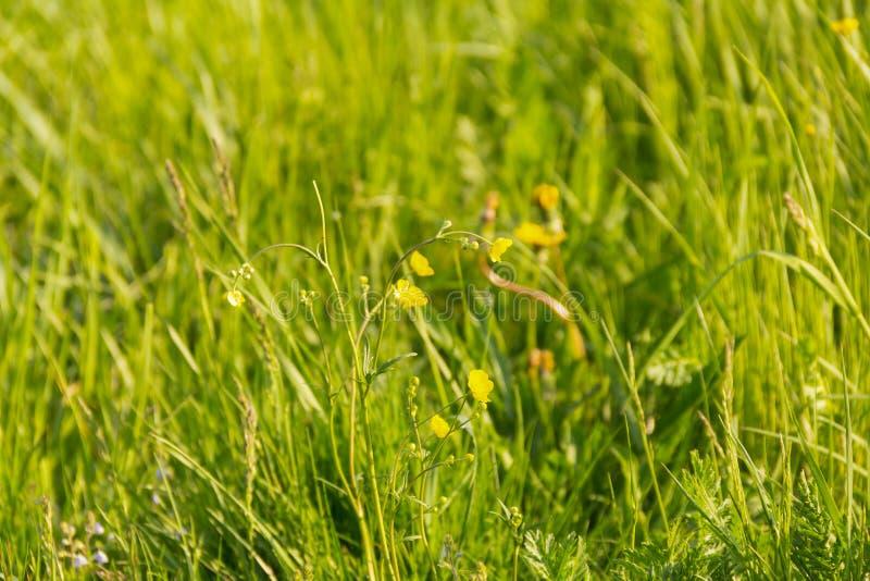 Erholungs-Grünfeld des niedrigen sonnigen freien Tages verlässt im Freien gelben Blumen hellen bunten Hintergrund lang lizenzfreie stockbilder