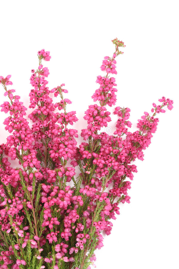 Download Erica immagine stock. Immagine di isolato, pink, fiore - 3144923