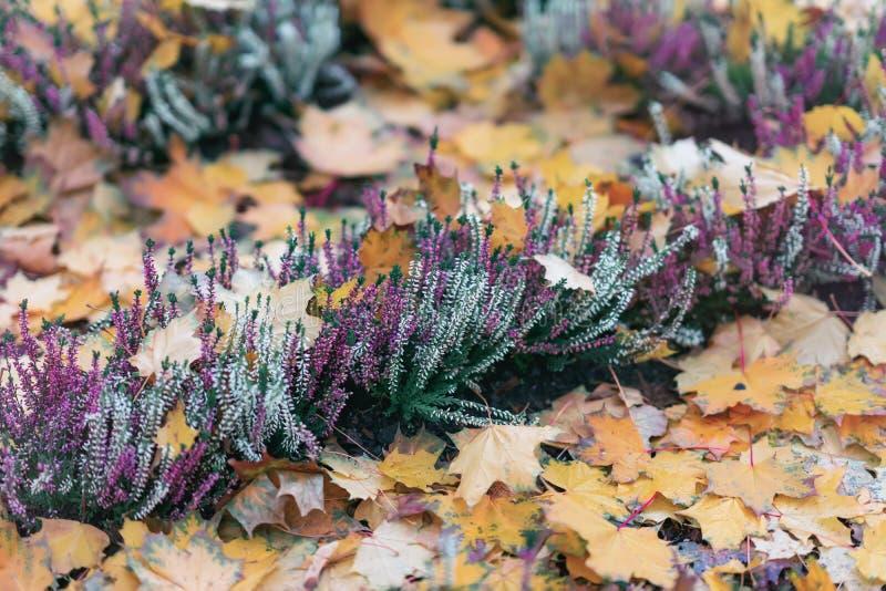 Erica brillante floreciente entre el follaje caido del otoño Planta imperecedera del género brezos Otoño pintoresco natural imagen de archivo libre de regalías