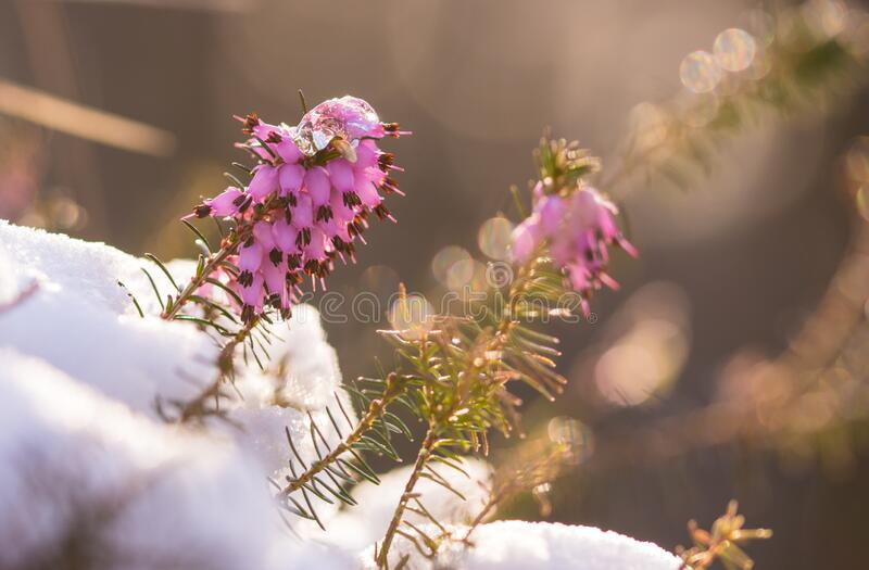 Evergreen wild flowers in the snow royalty free stock photos