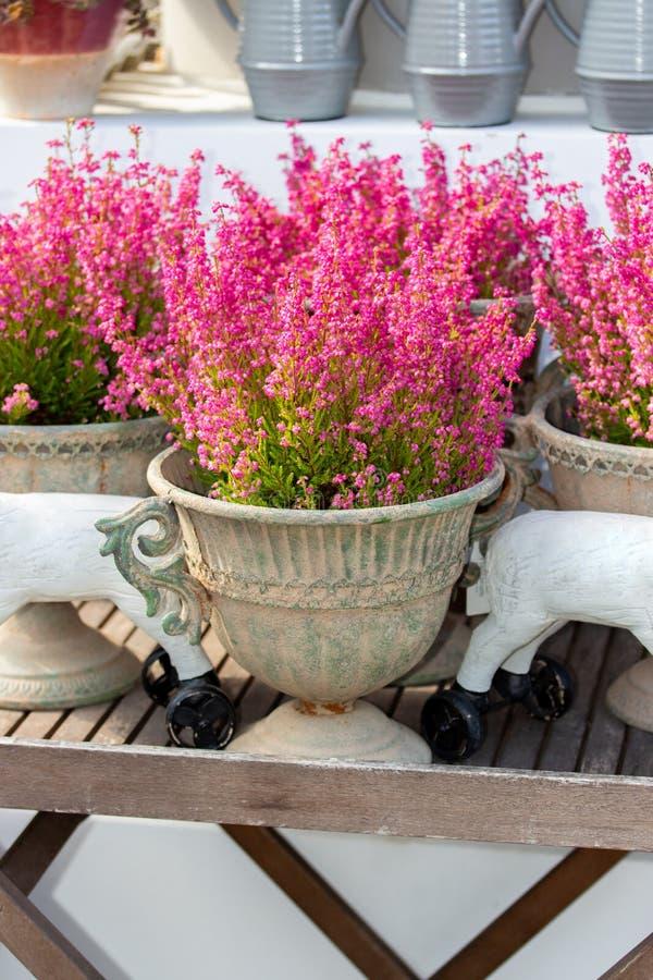 Erica elegant blooming pink flowers, floral background. Fresh natural heather flower in an old ceramic vase, garden decor vertical stock photos