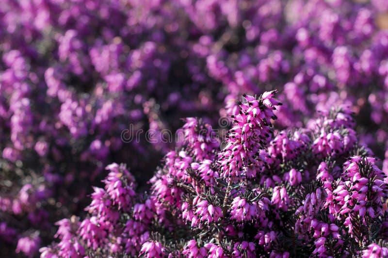 Erica flowers stock photo