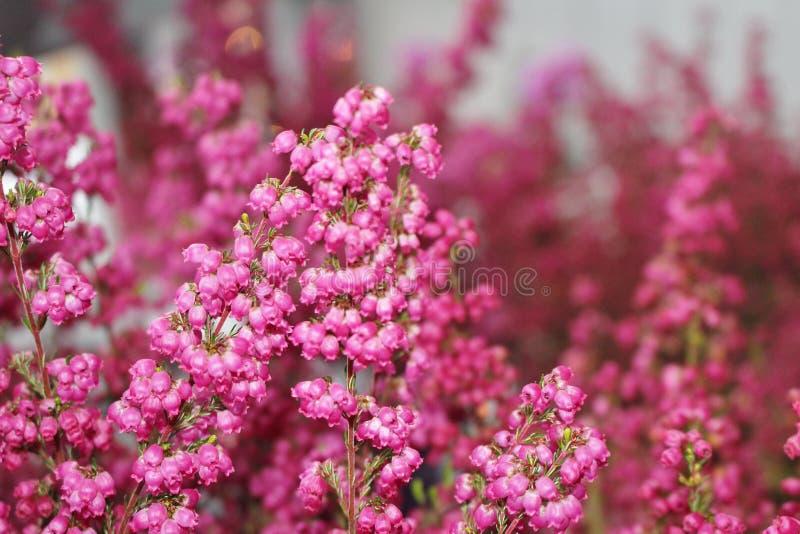 Erica gracilis obrazy stock