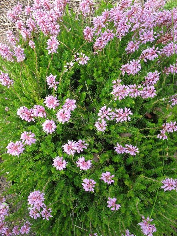 Erica lilac bushes in the garden. stock photos