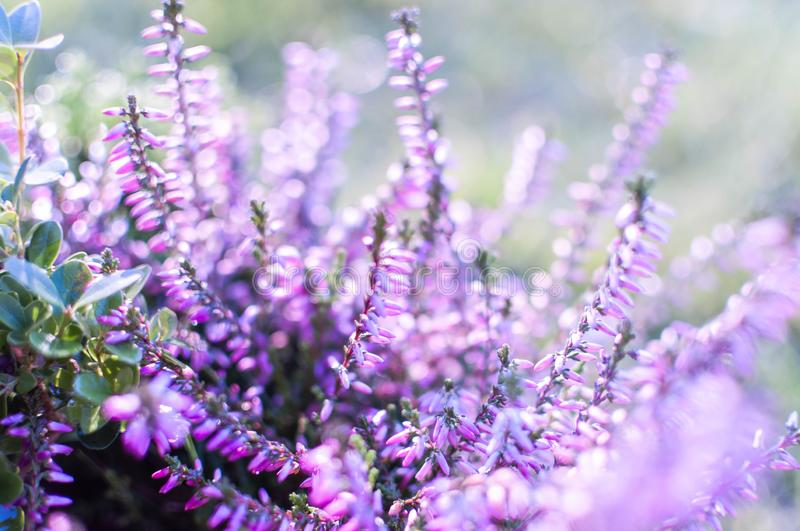 Erica plants, winter flowers in pink and purple close up. Symbol of the cold time and holidays. Erica plants, winter flowers in pink and purple close up. Symbol royalty free stock images