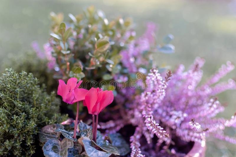 Erica plants, winter flowers in pink and purple close up. Symbol of the cold time and holidays. Erica, buxus and cyclamen plants, winter flowers in pink and stock image