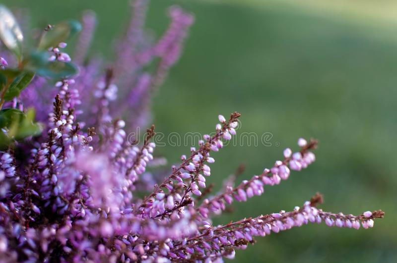 Erica plants, winter flowers in pink and purple close up. Symbol of the cold time and holidays. Erica plants, winter flowers in pink and purple close up. Symbol stock image