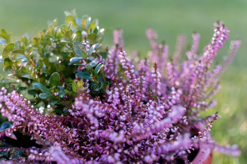 Erica plants, winter flowers in pink and purple close up. Symbol of the cold time and holidays. Erica plants, winter flowers in pink and purple close up. Symbol stock photography