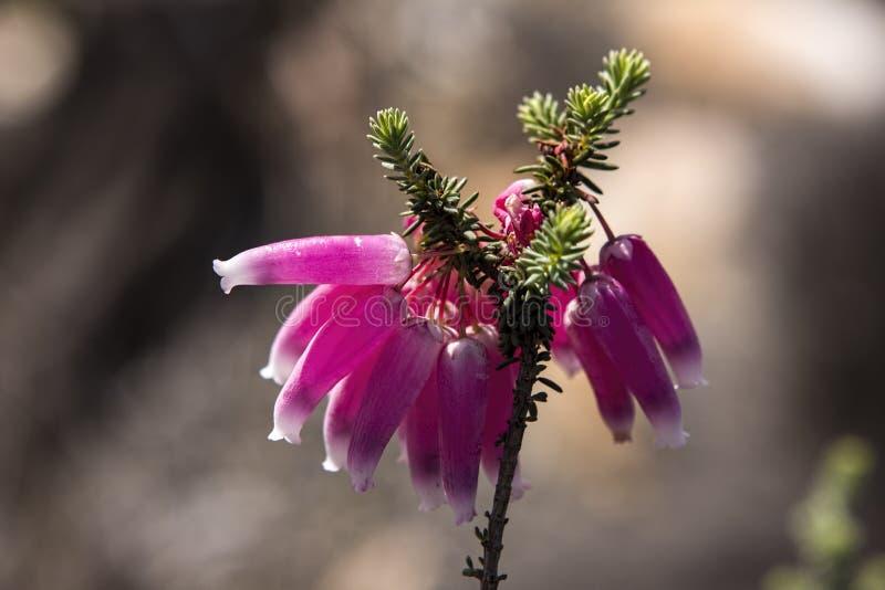 Erica versicolor fynbos flower karoo africa royalty free stock photography