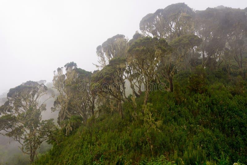 Erica w ruwenzori górach zdjęcia stock