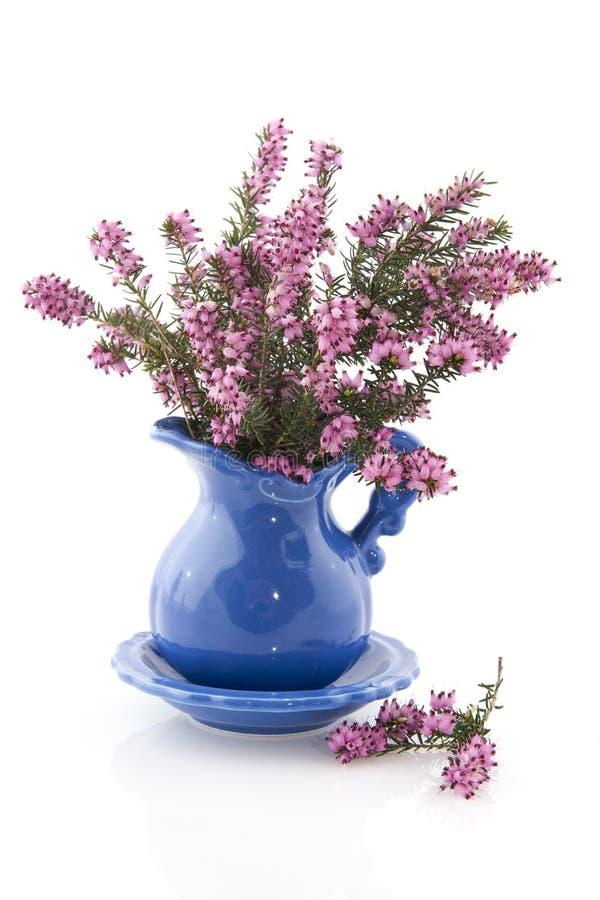 erica wrzosowiska purpury zdjęcia stock