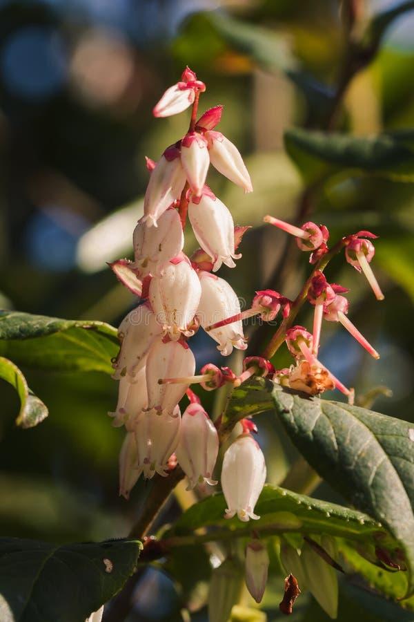 Ericaceae hat viele weißen Blumen lizenzfreies stockfoto