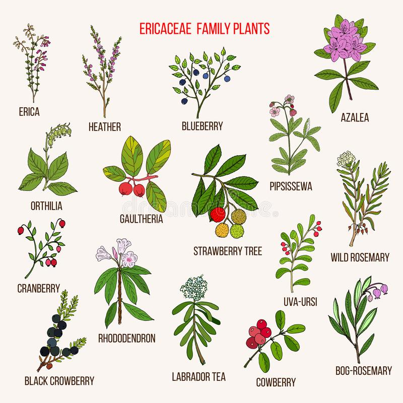 Ericaceae lub wrzosu rodzina kwiatono?ne ro?liny ilustracja wektor