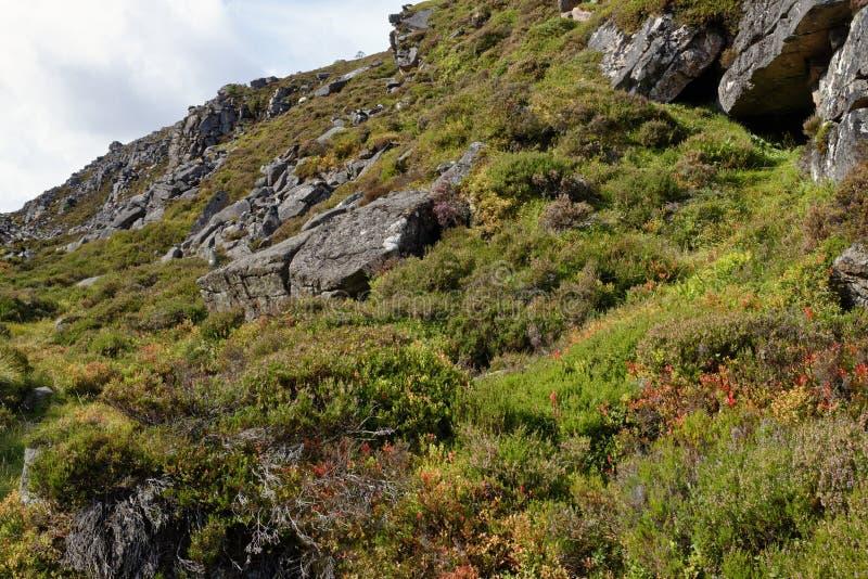 Ericaceous växter i Chalamain Gap, Cairngorm berg, höglands- Skottland blåbär - Vacciniummyrtillus, Blaeberry eller royaltyfria foton