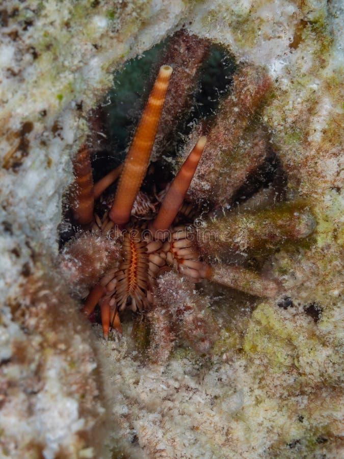 Erichín de lápiz de pizarra, tribuloides eucidaris Bonaire Vacaciones de buceo del Caribe imagenes de archivo