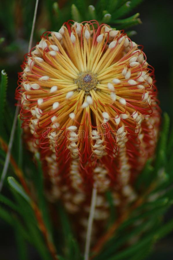 Ericofolia Banksia стоковая фотография