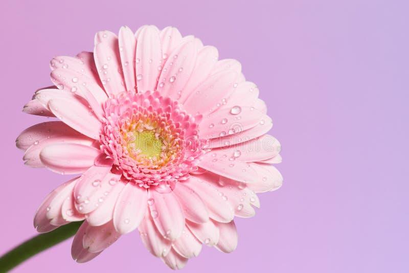 Erie różowy gerbera kwiat z waterdrops obraz stock