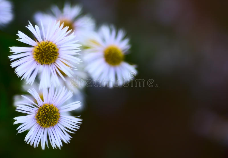 Erigeron Alpinus fotografie stock