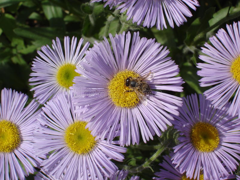 Erigeron (seaside daisy) purple and yellow flowers with bee royalty free stock photos