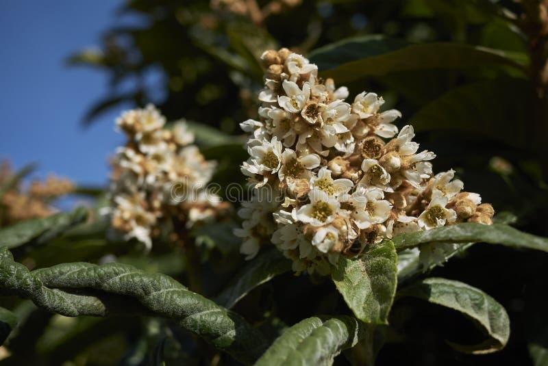 Eriobotrya japonica scented inflorescence. Branch of Eriobotrya japonica with white inflorescence stock photo