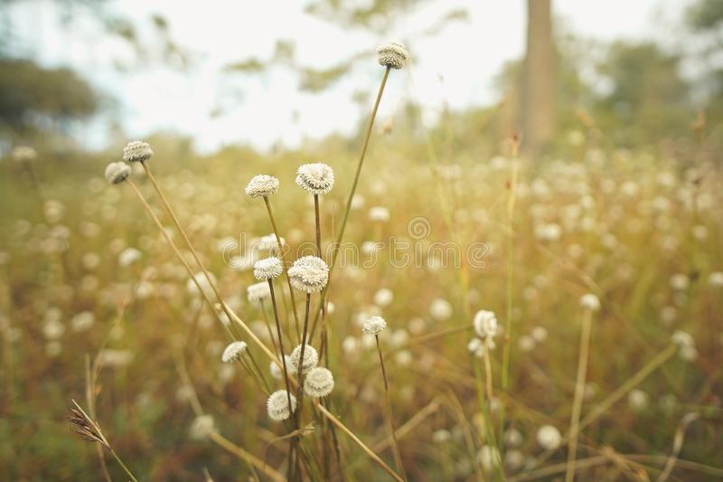 Eriocaulaceaeblommafält i skogen royaltyfria bilder