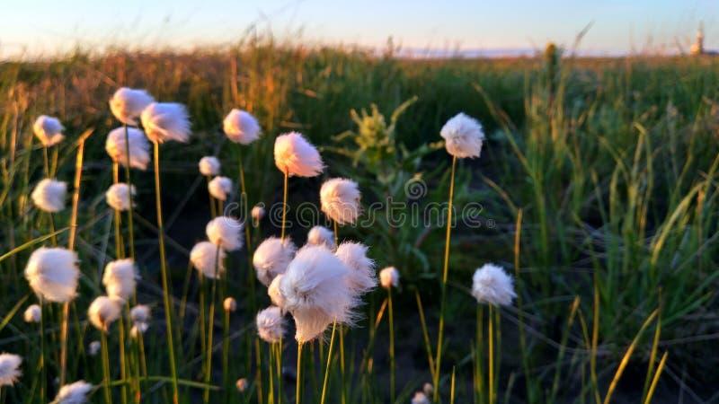 Eriophorum Λ Λουλούδι στοκ φωτογραφία