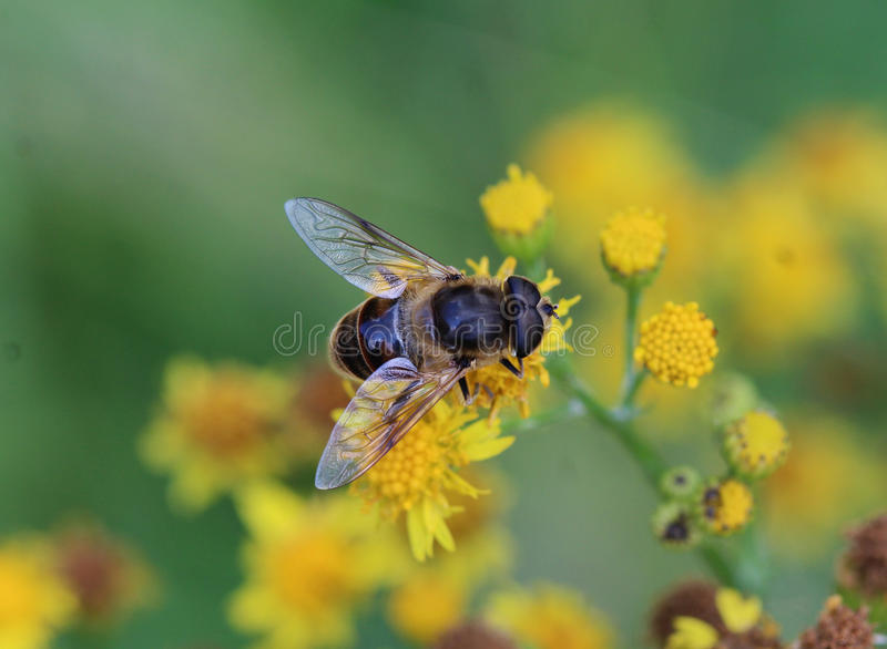 Eristalis Pertinax. Sitting on a purple flower in the garden royalty free stock images