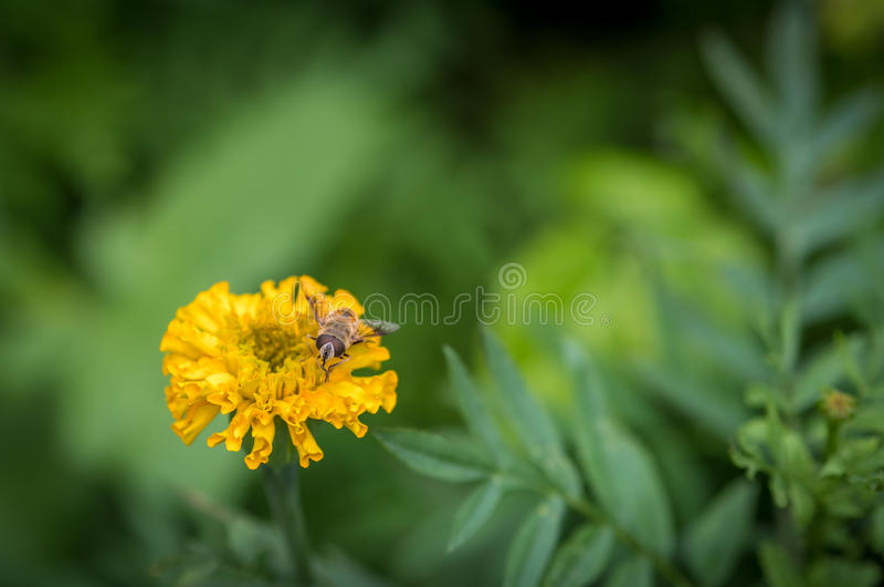 Eristalis tenax (μύγα κηφήνων) στοκ φωτογραφίες με δικαίωμα ελεύθερης χρήσης