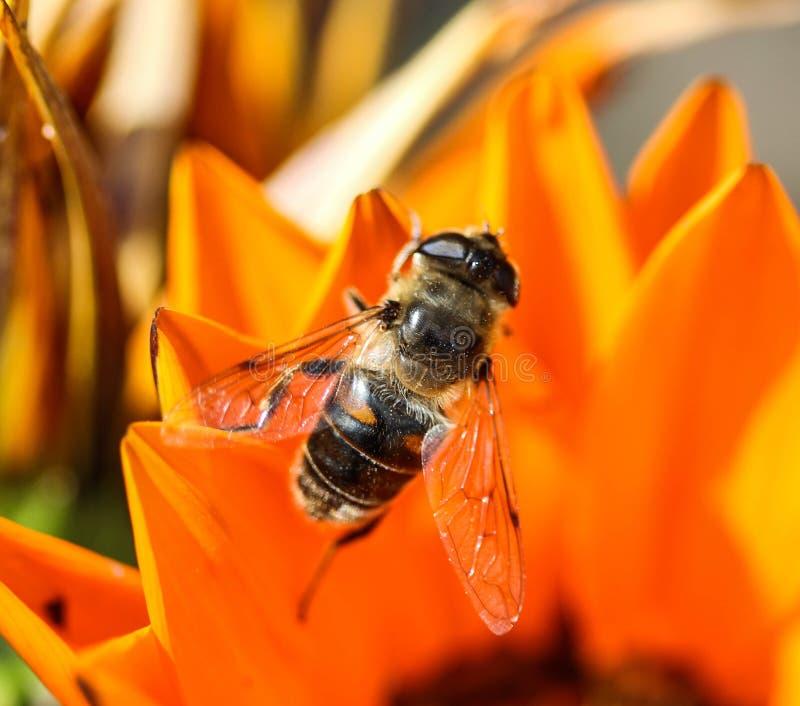 Eristalis tenax eller surrfluga, en europé hoverfly som sitter på blomman royaltyfria bilder