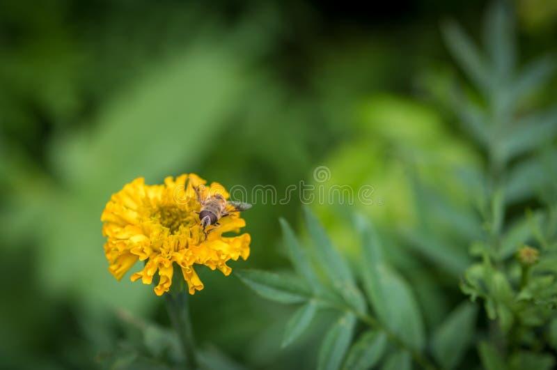 Eristalis tenax (mosca do zangão) fotos de stock royalty free