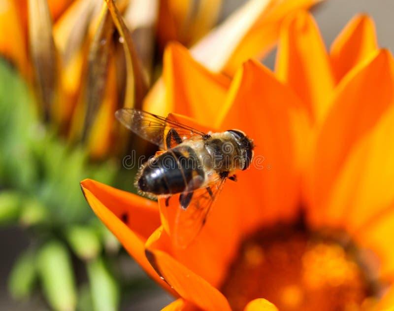 Eristalis tenax ou mosca do zangão, um europeu hoverfly, sentando-se na flor imagens de stock royalty free
