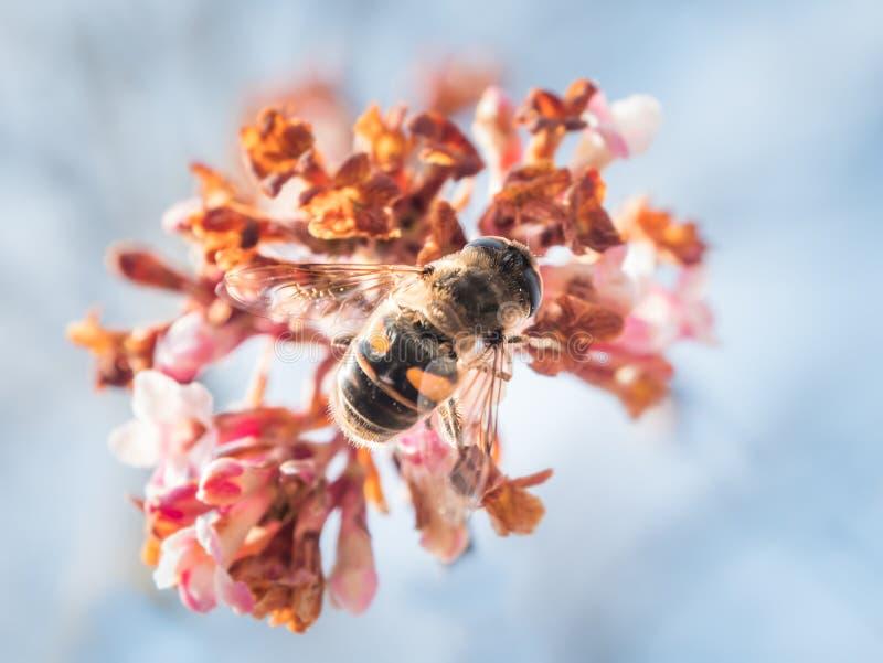 Eristalis tenax på en blom fotografering för bildbyråer