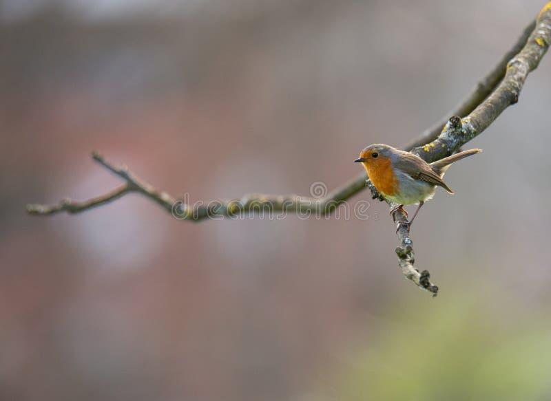 Erithacus rubecula De mały ptak śpiewający w gałąź zdjęcie royalty free