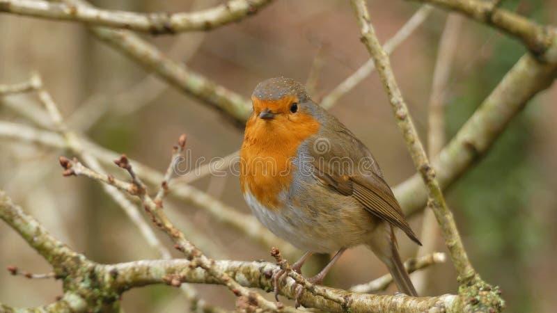 Erithacus rubecula - Europäer Robin stockfotos