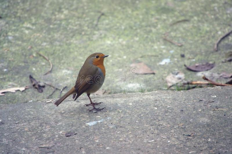 Robin standing upright. Erithacus rubecula or Robin also known as Robin redbreast standing upright alertly stock image