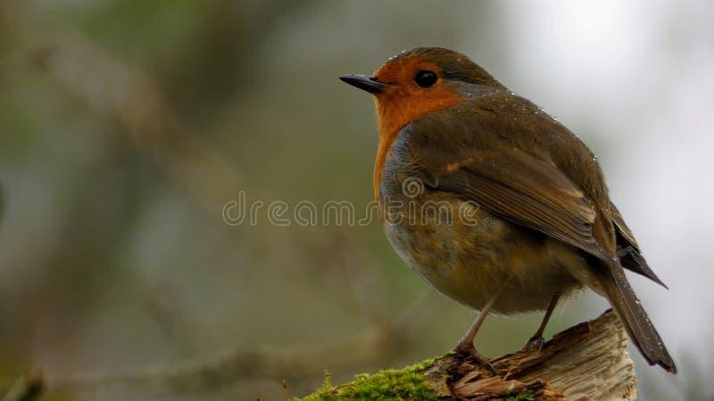 Erithacusrubecula - Europese Robin royalty-vrije stock afbeelding